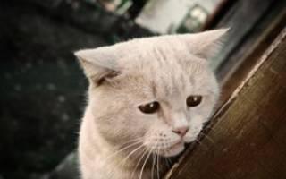 Подкожный клещ у кошек: симптомы с фото, лечение различных форм демодекоза в домашних условиях