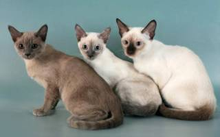 Тонкинская кошка: описание и характер породы, уход и содержание, вязка, другая полезная информация