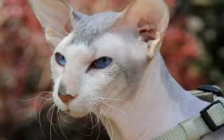 Петерболд: описание и характер породы, болезни и лечение, уход и содержание