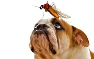 Дирофиляриоз у собак — симптомы и лечение, диагностика и профилактика, прогноз и возможные осложнения