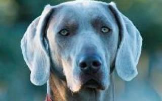 Веймаранер: описание, характер и история породы, дрессировка щенка и другая полезная информация