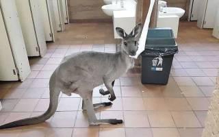 Турист снял на видео кенгуру, который задумчиво ел бумагу в общественном туалете