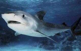 Акулы относятся к рыбам или млекопитающим: описание акулообразных, особенности и уникальные качества хищниц