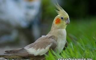 Попугай корелла — подборка фото