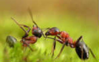 Средства от муравьев в доме, в квартире, на участке, в огороде или на даче: как избавиться от них с помощью химических и народных средств