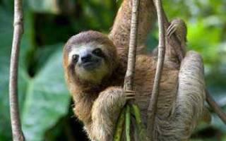 Описание ленивца: внешний вид, места обитания, фото животного и почему зверь такой медленный