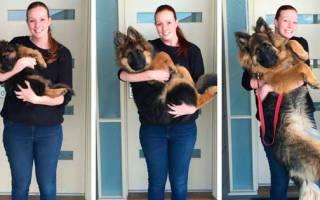 До какого возраста растут собаки — мелких, средних и крупных пород