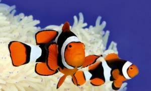 Рыба клоун — как выглядит, где живет, чем питается, уход и содержание в аквариуме и другие интересные факты