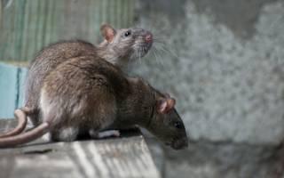 Как избавиться от грызунов на дачном участке: народные способы, химические средства и другие методы борьбы на даче
