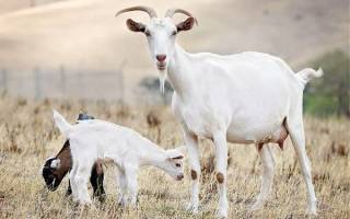 Характерное описание особенностей породы коз и фото с названием молочных представителей вида
