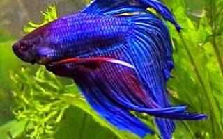 Рыбка аквариумный петушок, её содержание и сколько живёт эта рыба