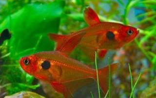 Тетры в аквариуме: описание видов, содержание, разведение и совместимость рыбок