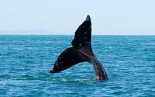 Хвостовые плавники рыб и китов: чем различаются, способы перемещения в воде