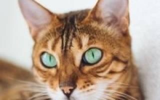 Бенгальская кошка — фото и описание