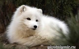 Песец: описание животного и фото, где живёт полярная лисица, чем питается