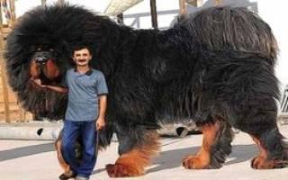 Самые известные большие собаки: название пород, фото, основные характеристики крупных псов