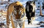Тигр Амур и козел Тимур: что с ними сейчас