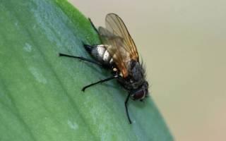 Ирисовая муха: методы борьбы с ней, чем обработать ирисы для профилактики, фото, средства для опрыскивания