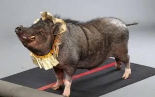 Теперь улицы Нью-Йорка патрулируют свиньи