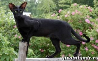 Ориентальная кошка: особенности ухода в домашних условиях и фото, породы котов ориенталов