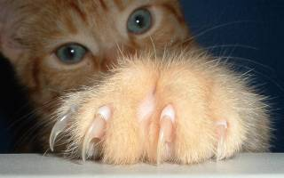 Причины активного царапанья у кошек