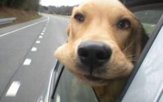 Зачем собаки высовывают голову из машины