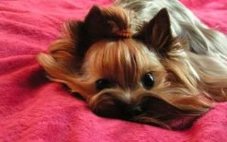 Эффектные виды стрижек для Йорков-девочек: описание и фото, как самостоятельно подстричь йоркширского терьера