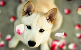 Какова периодичность течки у собак: как проявляется, в каком возрасте идет первая течка и сколько длится