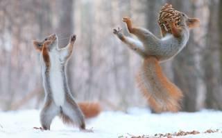 Фотограф заснял поединок двух викуний, больше похожий на танец
