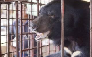 Во Вьетнаме спасли пять медведей их ферм по сбору желчи
