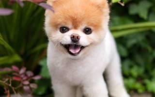 Самый милый в мире пёс умер от тоски