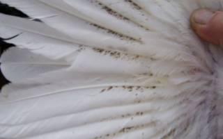 Куриные вши: как вывести, эффективные методы борьбы с ними в курятнике, откуда берутся, признаки заражения у кур