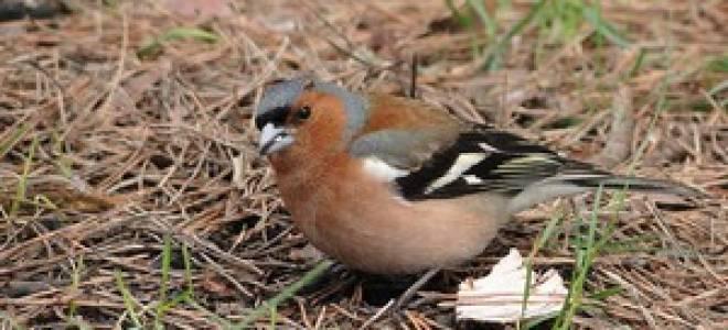 Весенние птицы Беларуси, Донбаса, Волгоградской области в картинках: названия и описание с фото
