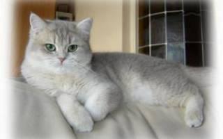 Всё о прямоухой шотландской кошки: внешний вид и характер, особенности ухода, фото