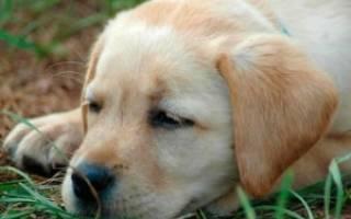 Короновирусный и парвовирусный энтерит у собак: формы заболеваний и их симптомы, методы лечения, профилактика