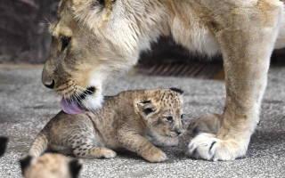 В Африки появились первые в мире львята «из пробирки»