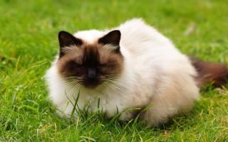 Породы кошек, которые не отличаются высоким интеллектом