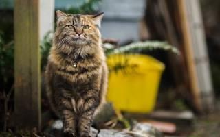 Лечение мочекаменной болезни у домашних котов, симптомы и условия
