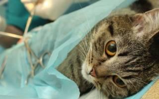 Как ухаживать за кошкой после стерилизации — подробная информация