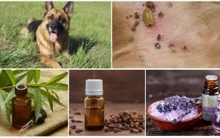 Эфирные масла от клещей для людей и животных (собак и других): какие подойдут, как наносить