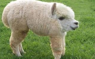 Если бы у животных не было шеи — фото причудливых монстров