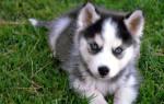 Сколько стоит собака хаски: цена щенка в России, чем кормить, на что обратить внимание при выборе