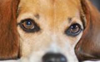 Какие породы собак требуют особо тщательного ухода за глазами
