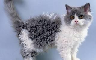 Кудрявые кошки — фото и описание