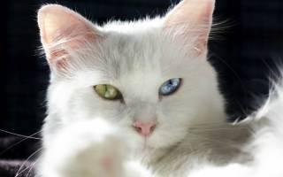 Почему у кошек бывают глаза разного цвета