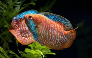 Аквариумная рыбка лялиус: виды и описание с фото, содержание и уход, совместимость с другими рыбами