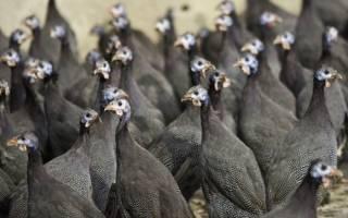 Породы цесарок — самые красивые и продуктивные, подборка фото