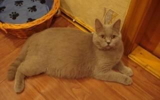 Как понять, что кошка беременна, особенности поведения беременной домашней кошки после вязки