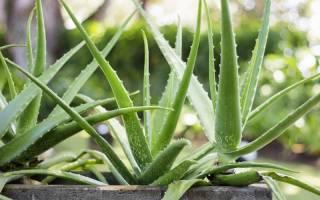 6 растений, ядовитых для кошек