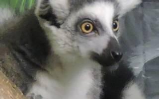 В ярославском зоопарке появится «король» интернет-мемов
